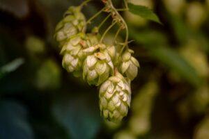 Terpene Tuesday: Humulene