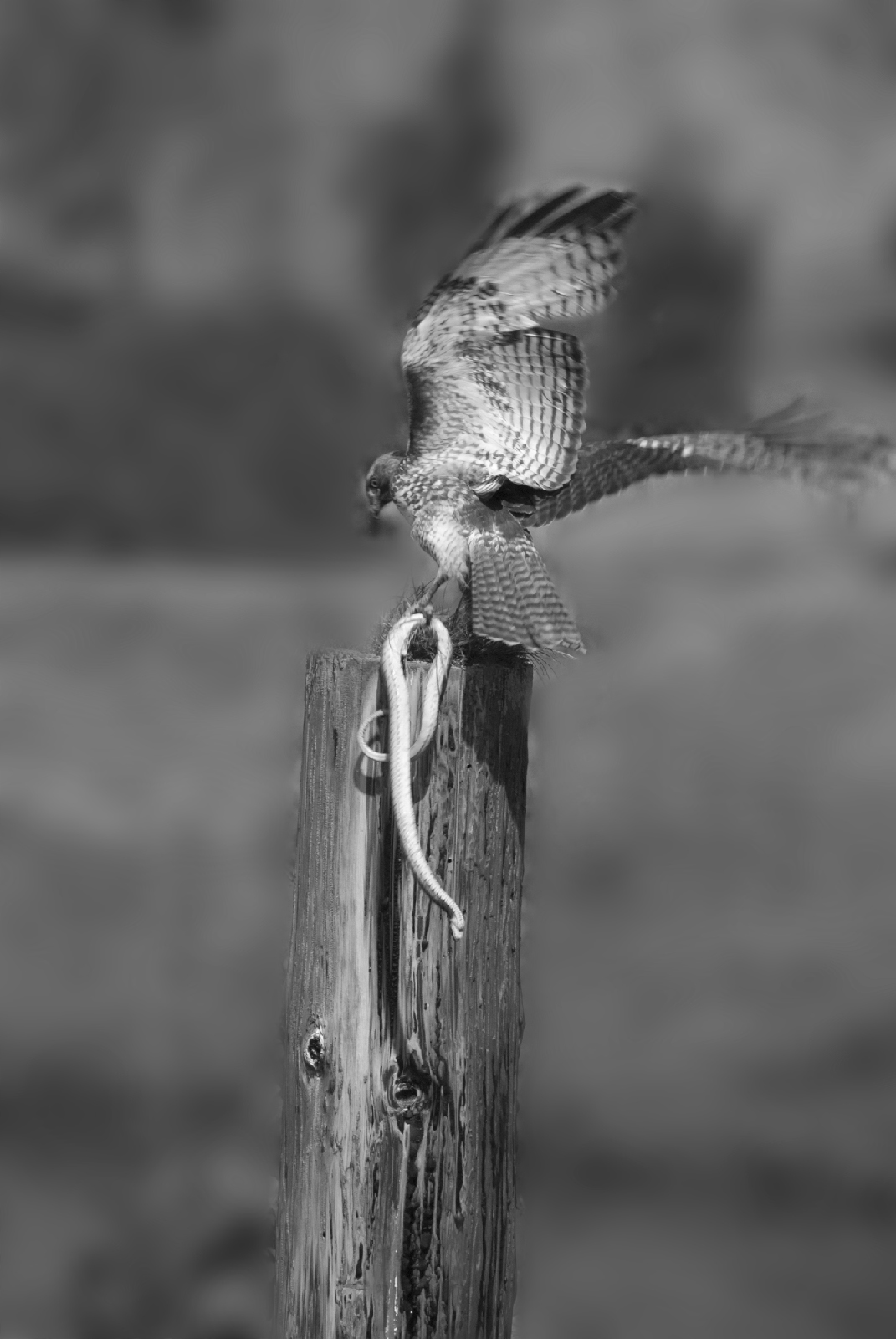 hawk_and_snake