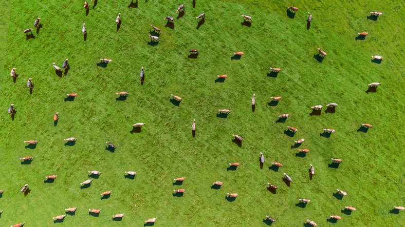 Aerial view of a meadow with cows