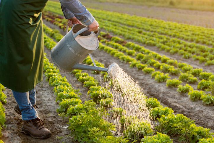 Farmer watering the crops