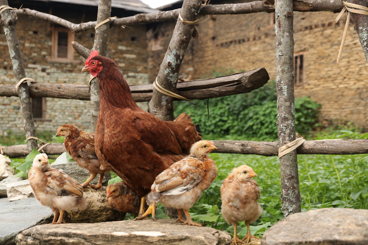 Hen with baby chicks