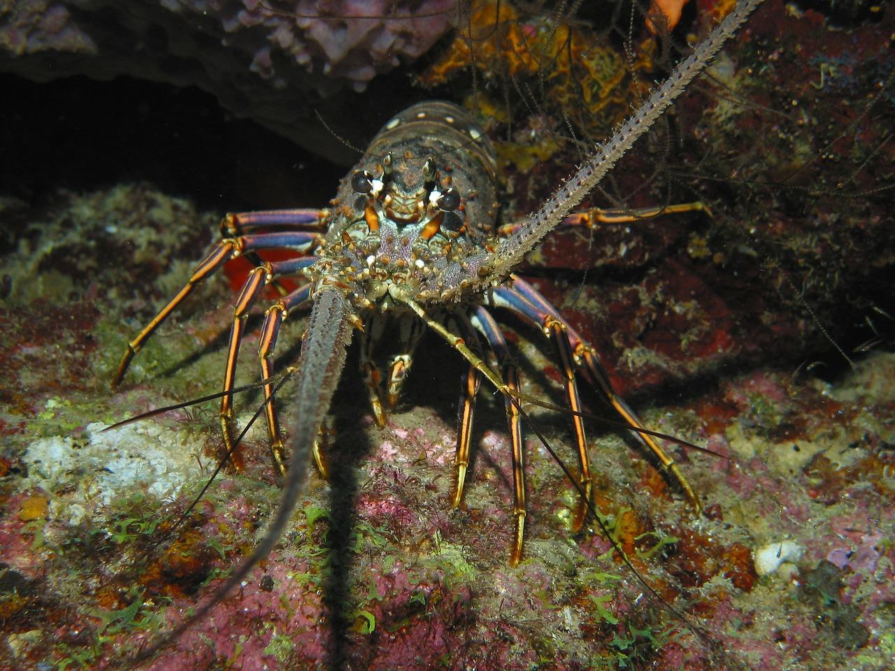 lobster mini-season in South Florida