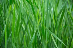 green-grass-1464621149kmj