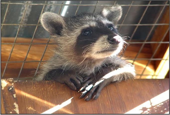 Photogenic baby raccoon