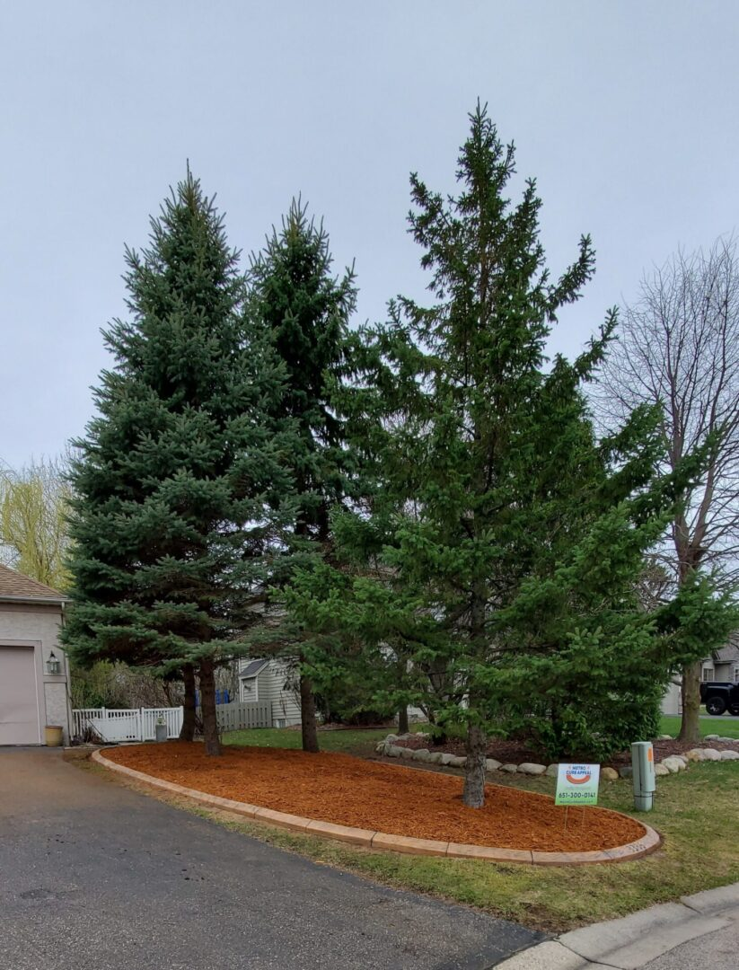 pine trees in a front yard