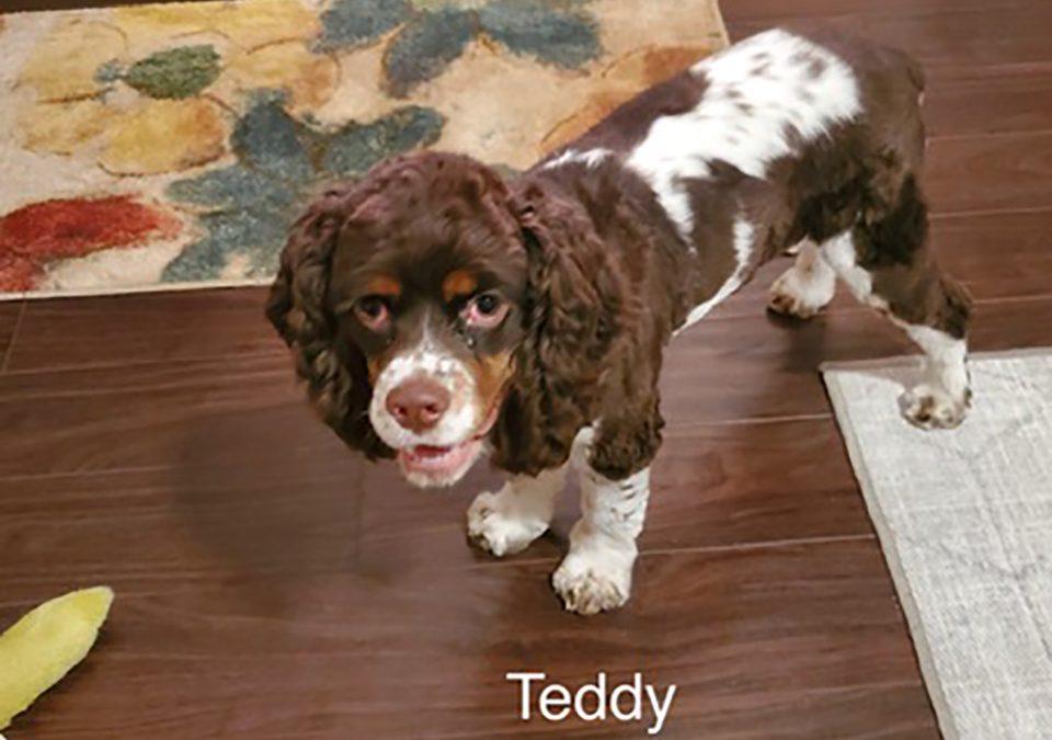 Teddy - Columbus Cocker Rescue
