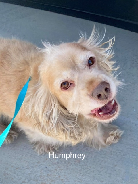 Humphrey - Columbus Cocker Rescue