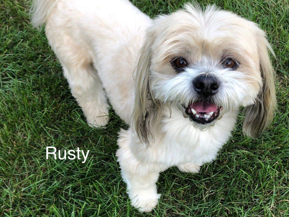 Rusty - Columbus Cocker Rescue