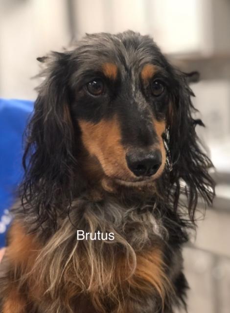 Brutus - Columbus Cocker Rescue