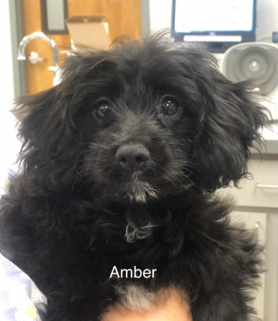 Amber - Columbus Cocker Rescue