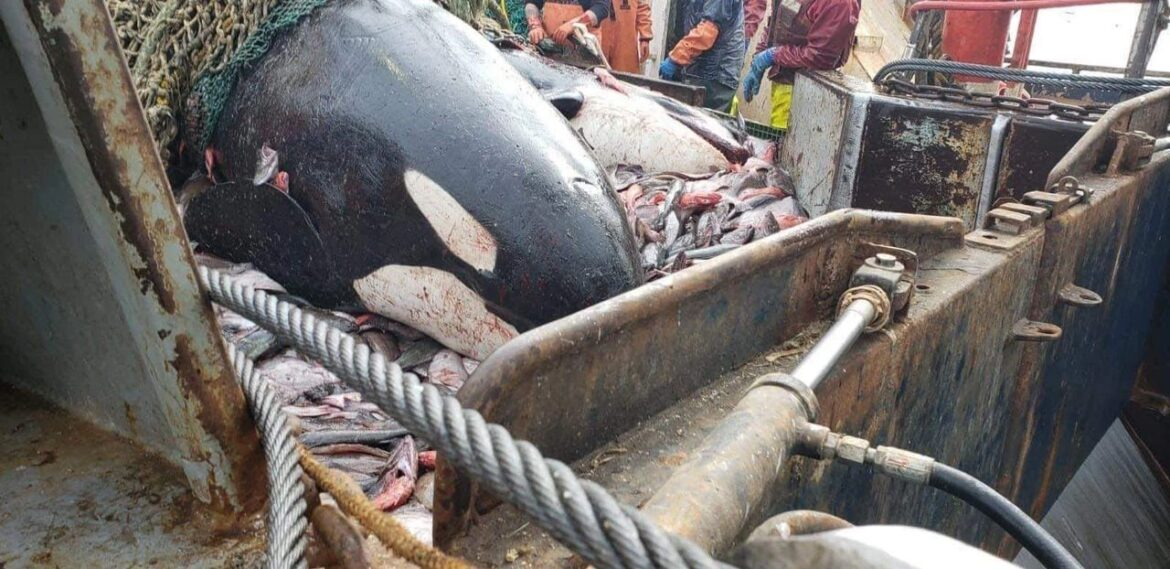 Social Media Post Alleges Orcas Caught in Alaska Trawler Bycatch