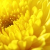 chrysanthemum-for-eye