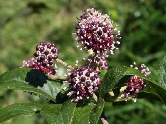 acanthopanax-flowers