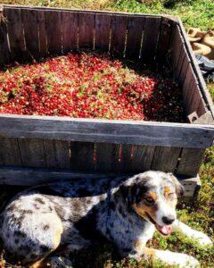 Local Cranberries
