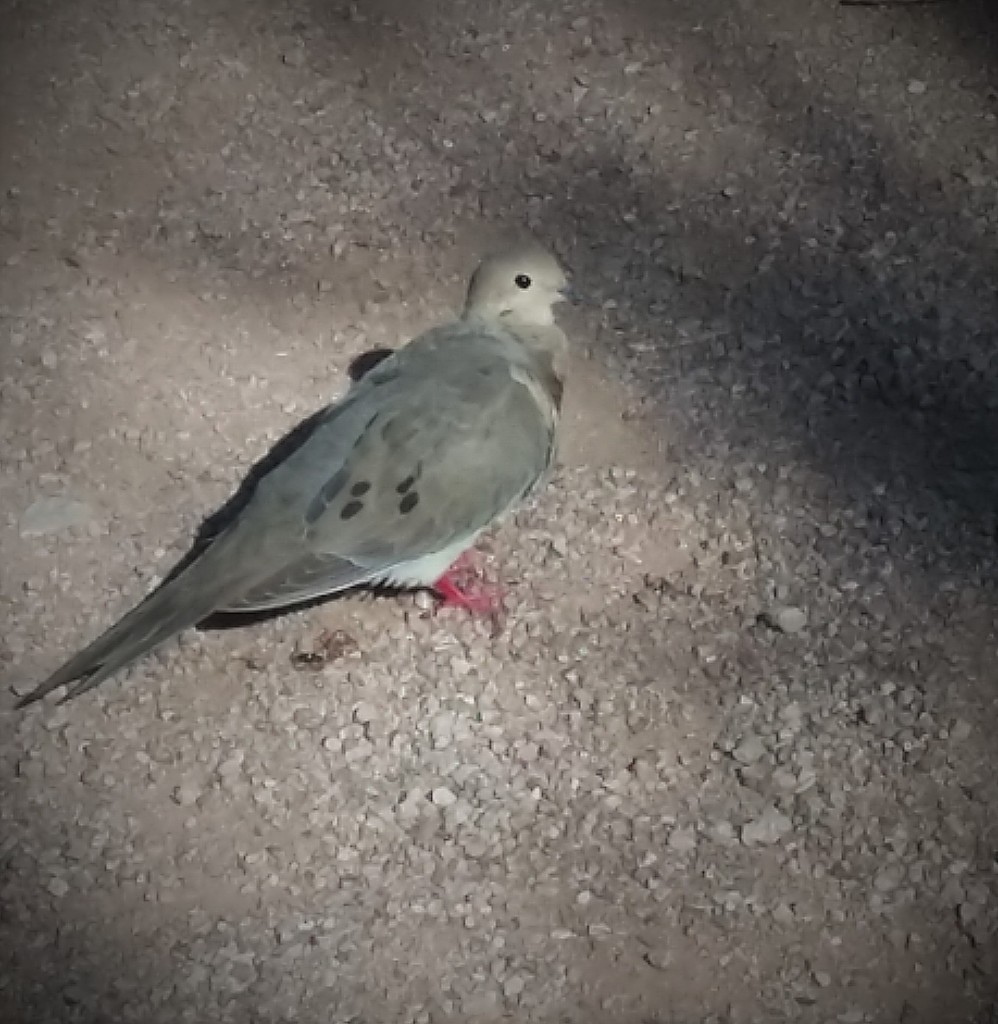 Mourning Dove with red feet