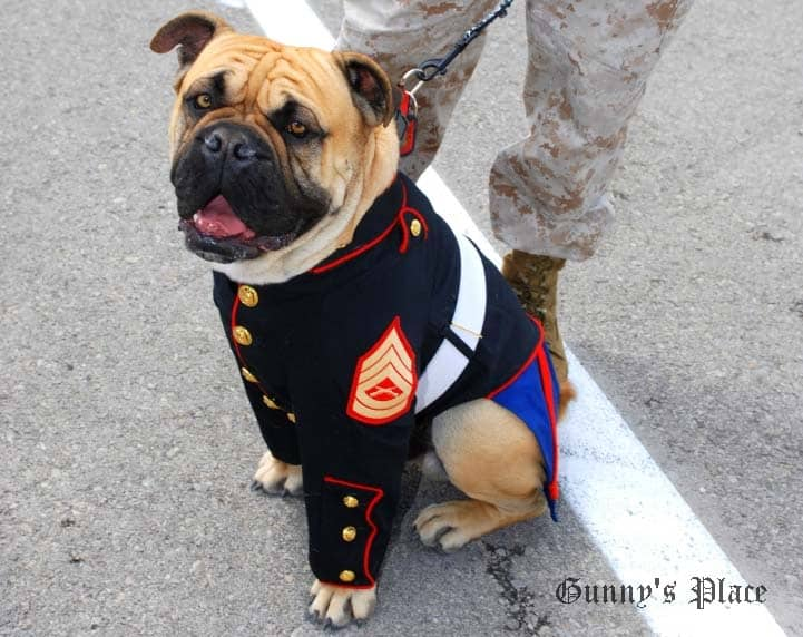 In McGrew Studios' custom retailored US Marine Corps' dress blues: The famous Toys for Tots and Marine Corps League spokesdog, Gunny Monster.