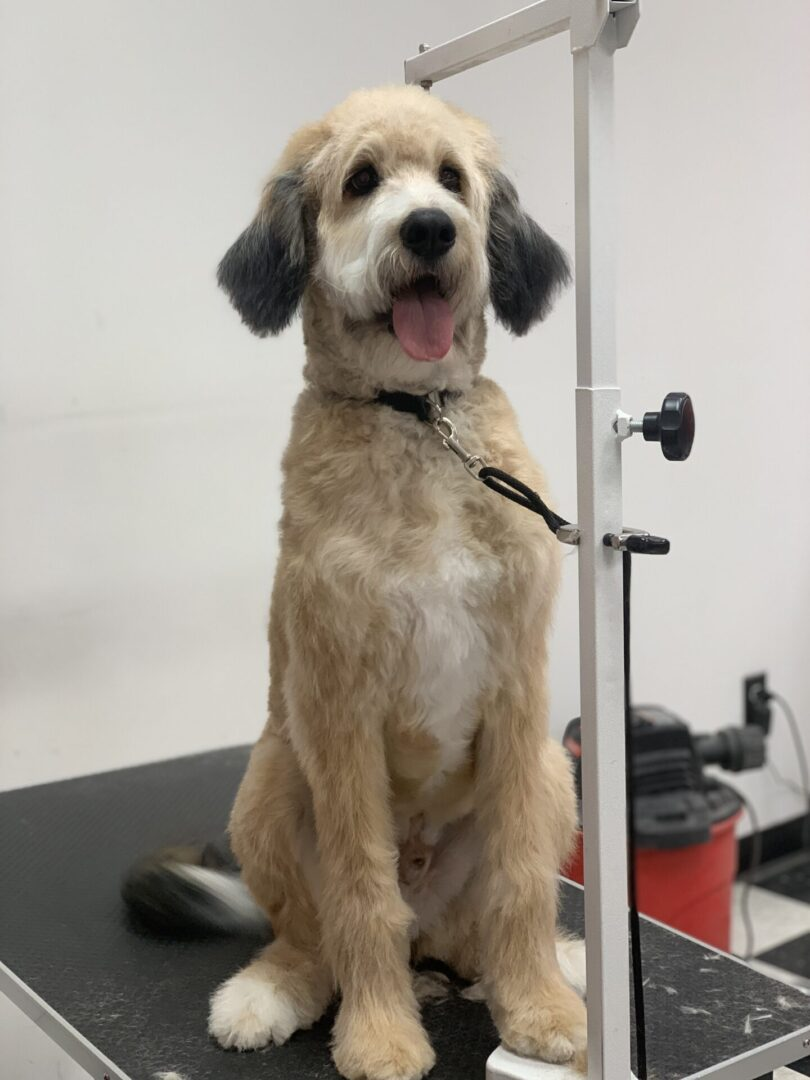 a tall fluffy light brown dog with black ears