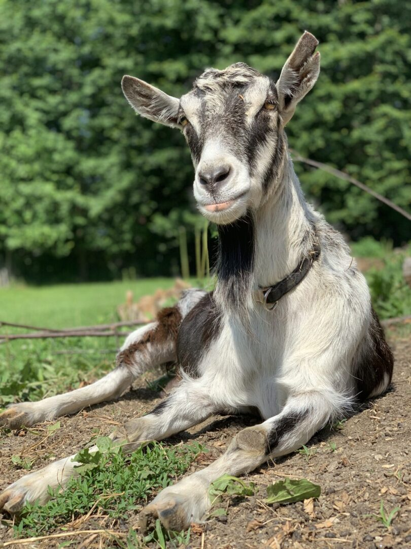 a black and white goat