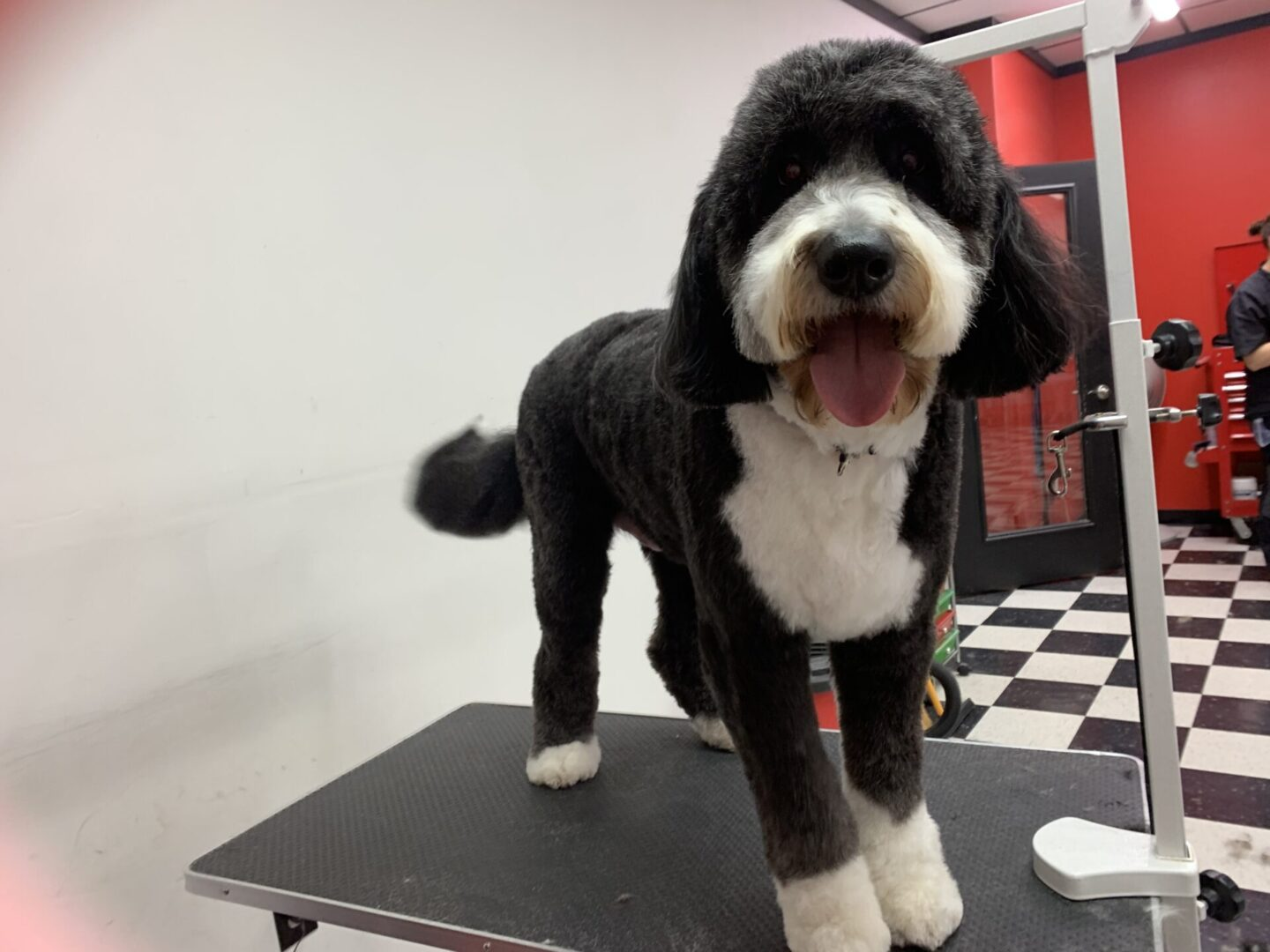 a black and white fluffy dog with its tongue out
