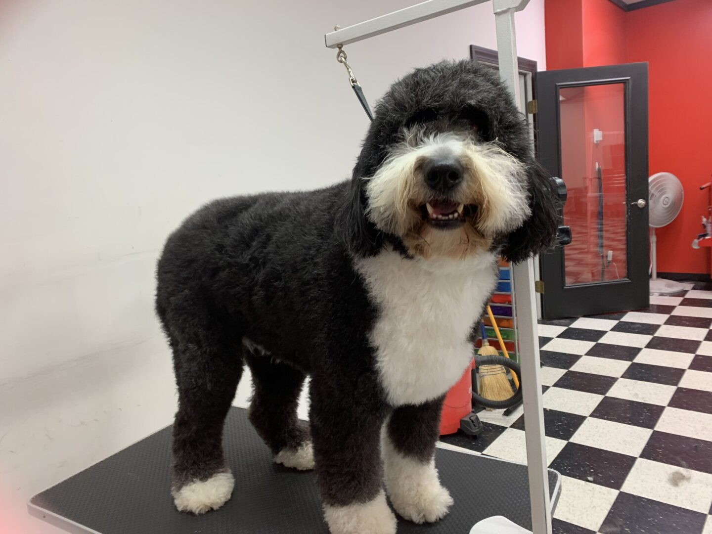 a black and white fluffy dog