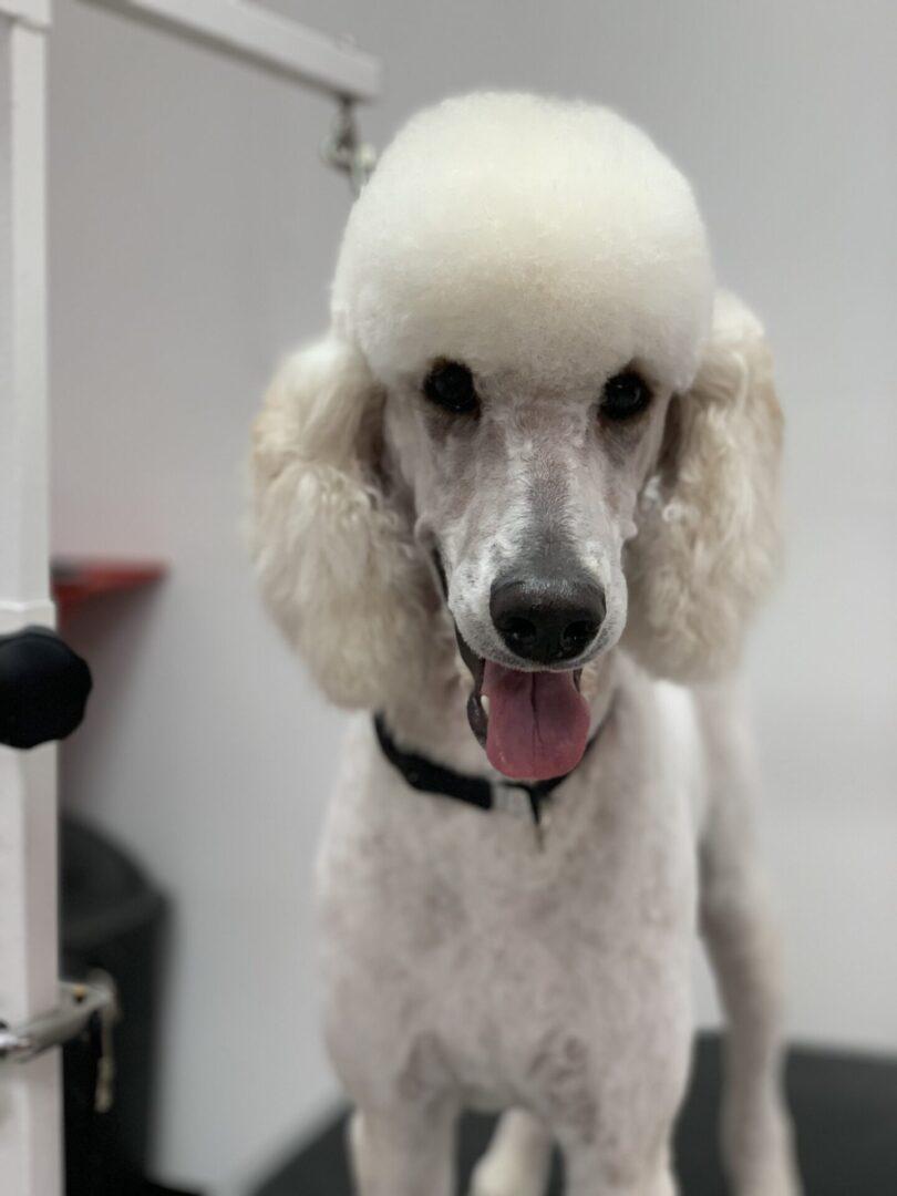 a tall fluffy white dog
