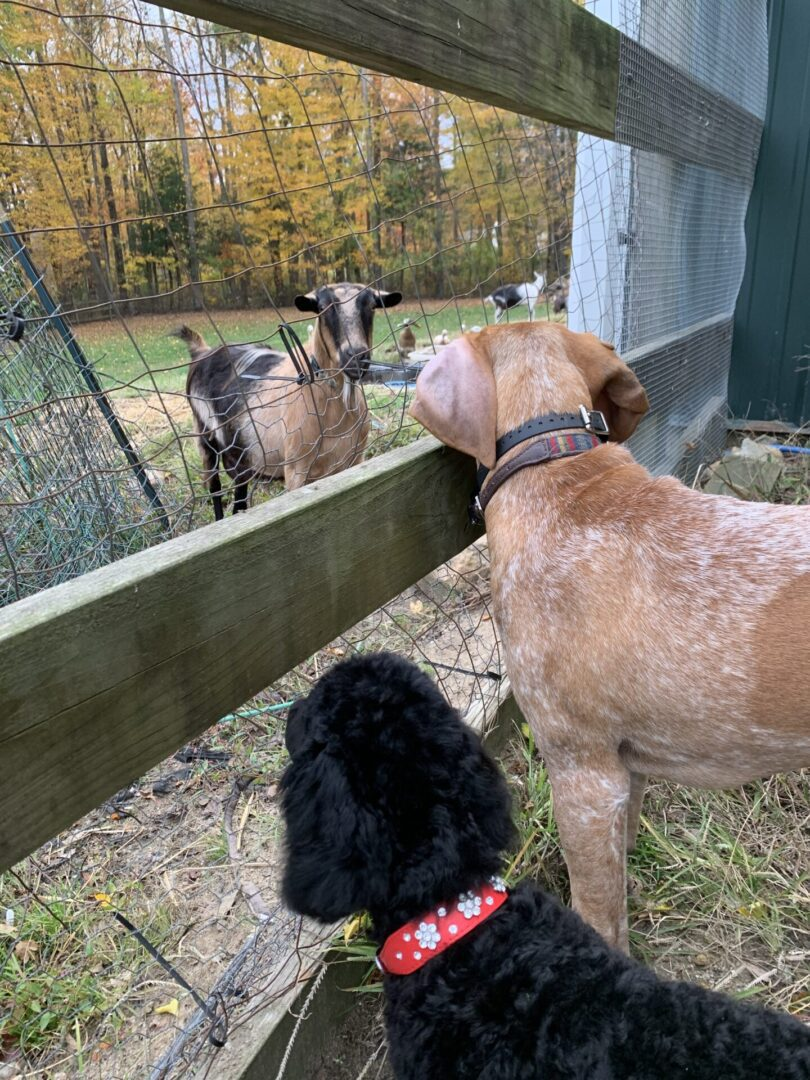 two dogs looking at a goat