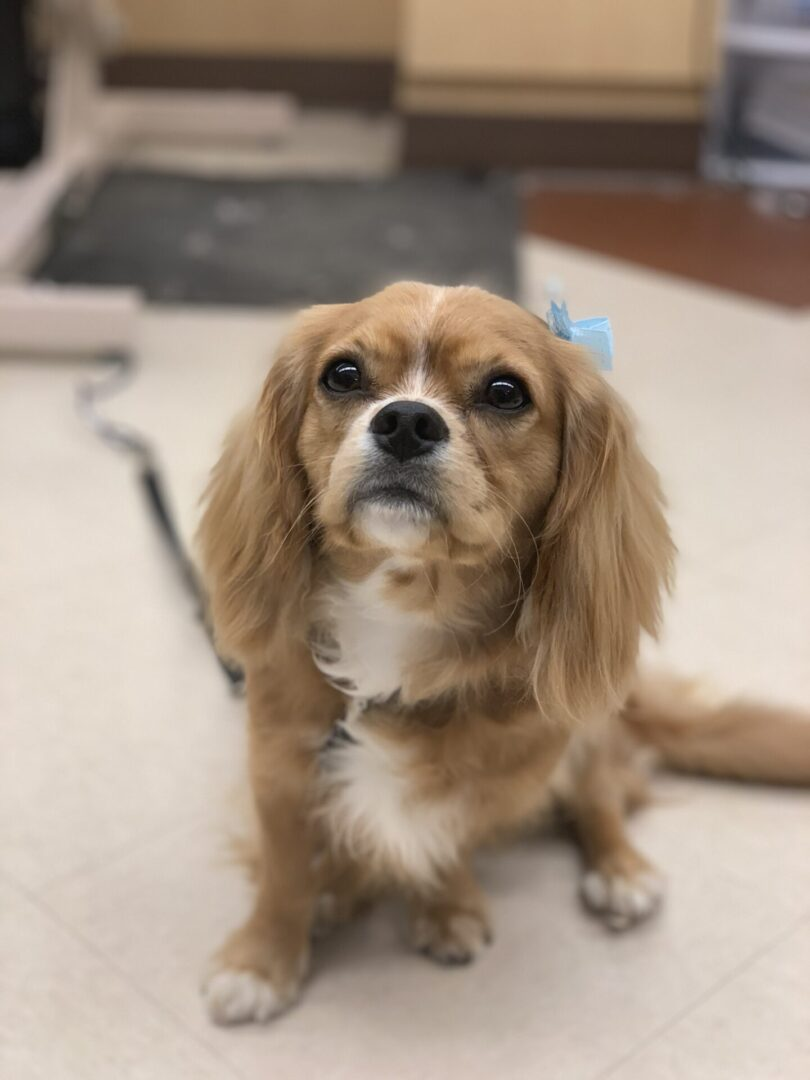 a small long-eared brown dog