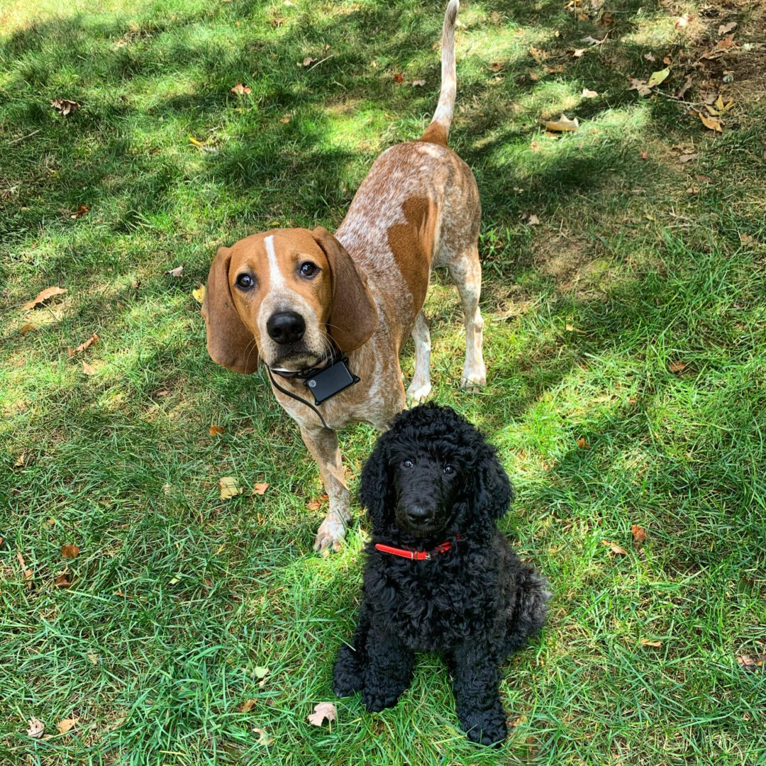 a brown dog and a black dog