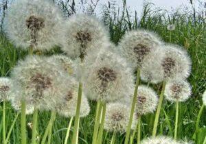 weeds-dandelions