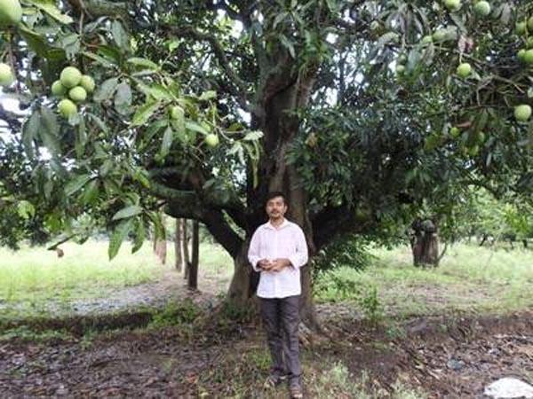 indian mango farm