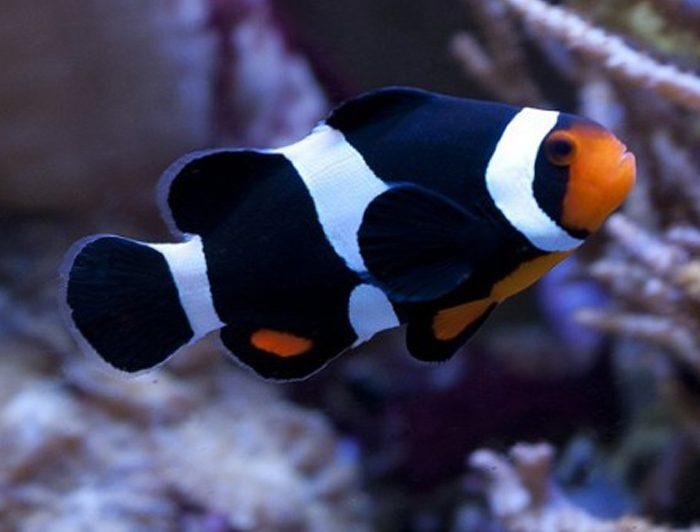 Mocha Ocellaris Clownfish