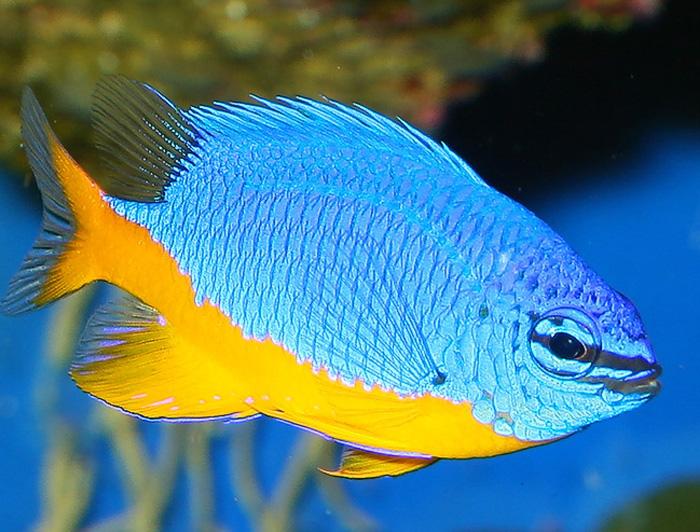 Kupang Damselfish