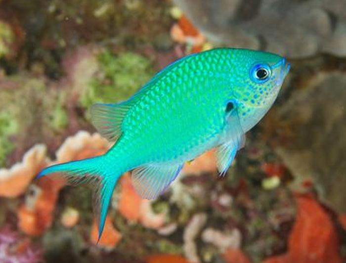 Blue-Green Chromis