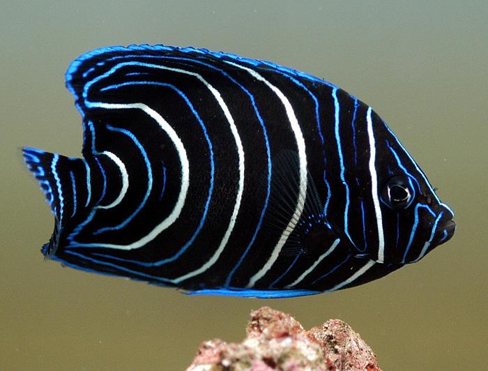 Koran Angelfish (Juvenile)