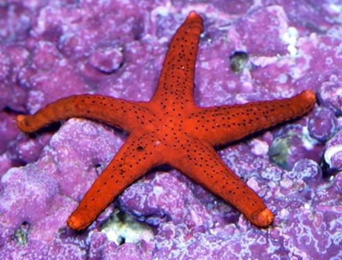 Red Bali Starfish