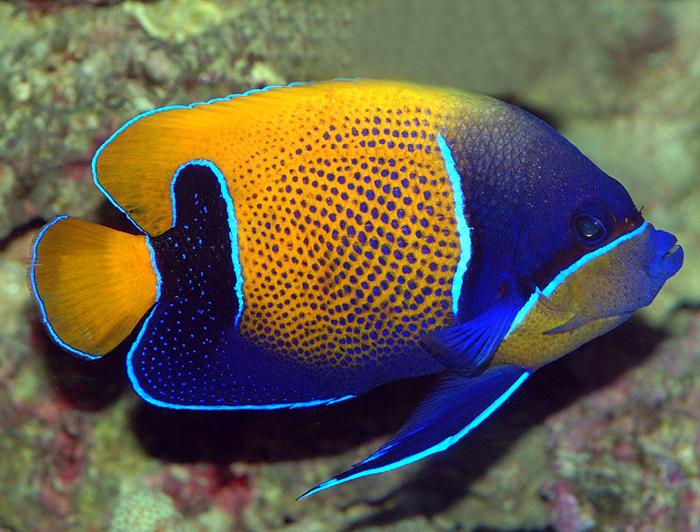 Navarchus Angelfish