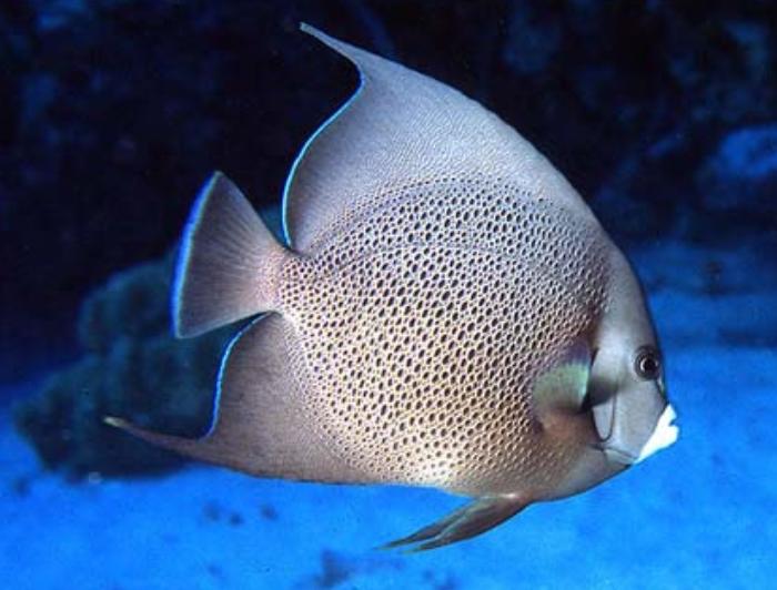 Gray Angelfish (Adult)