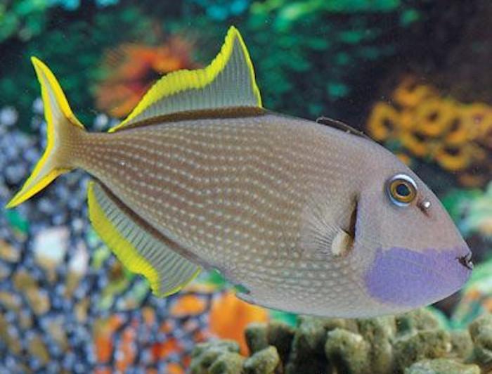 Blue Jaw Triggerfish - Male