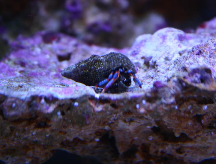 Blue-Legged Hermit Crab