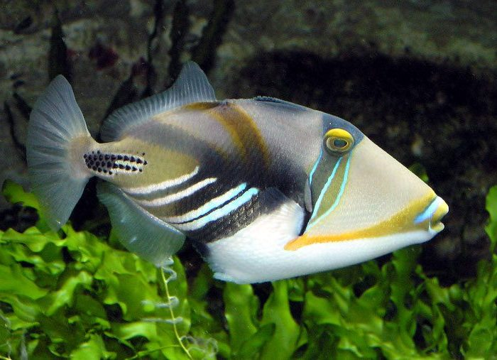 Huma (Picasso) Triggerfish