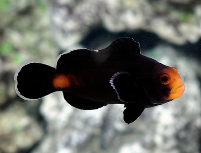 Midnight Ocellaris Clownfish