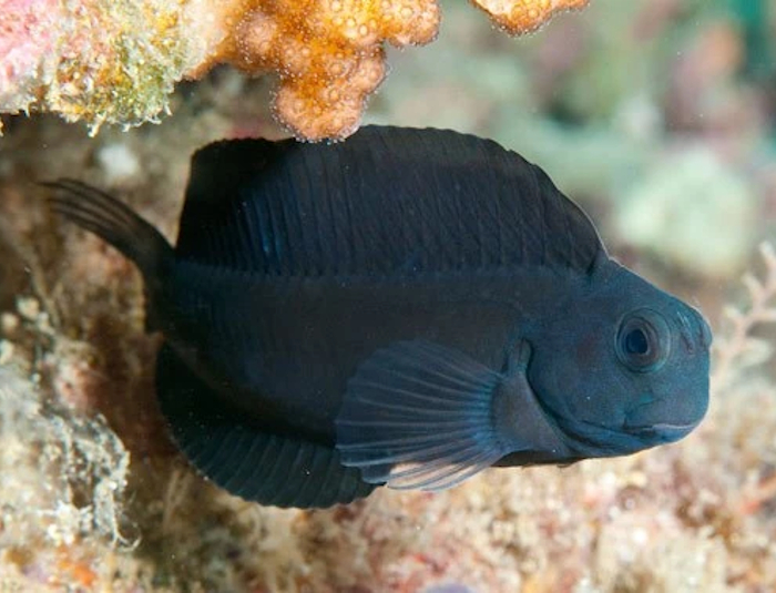 Black Sailfin Blenny