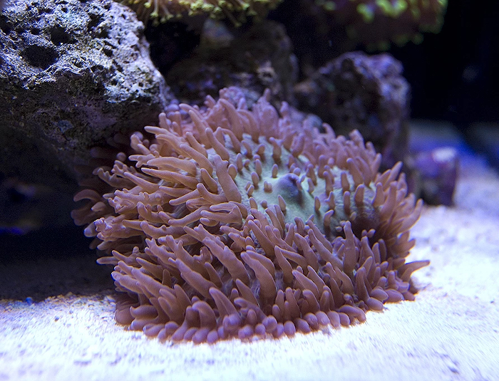 Hairy Mushroom Coral