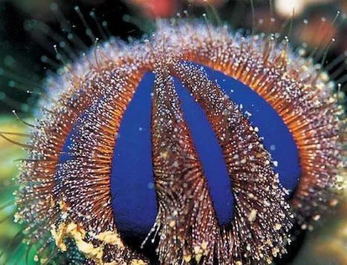 Tuxedo Urchin