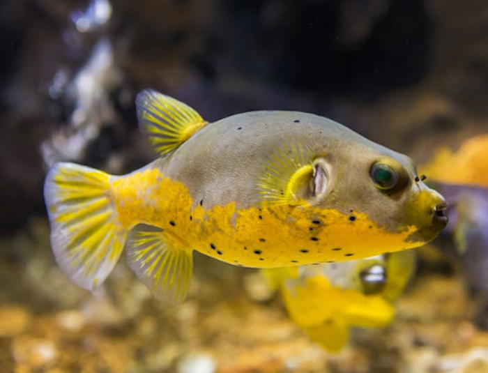 Yellow Belly Dogface Puffer