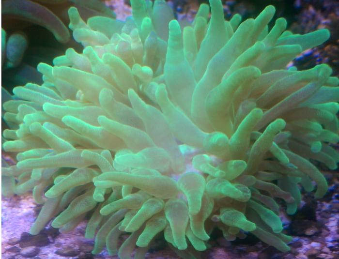 Green Bubbletip Anemone