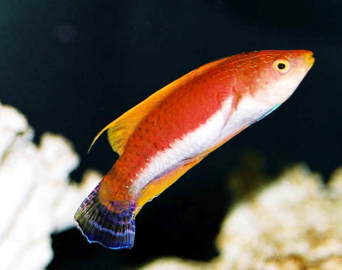 Whip-Fin Fairy Wrasse