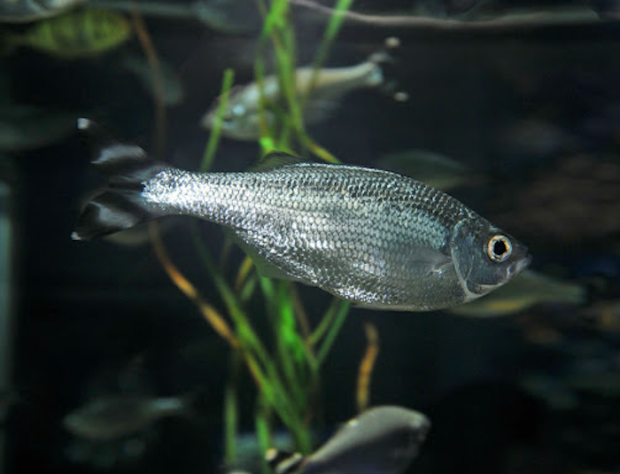 Barred Flagtail