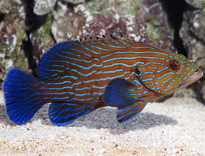 Blue Lined Grouper