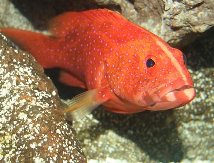 Red Louti Grouper
